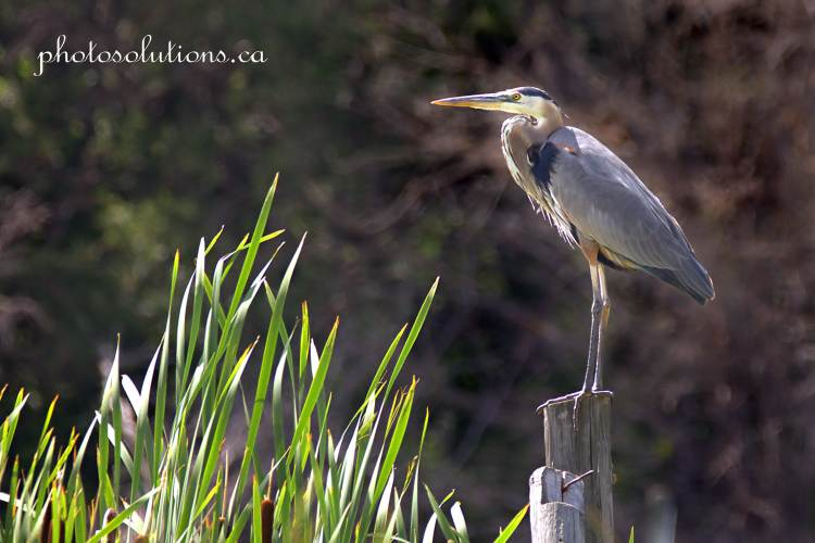 Blue Heron on fencepost Highway 22 warm color tones wm