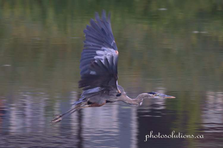 Blue Heron Riviera Pond in flight cropped wm