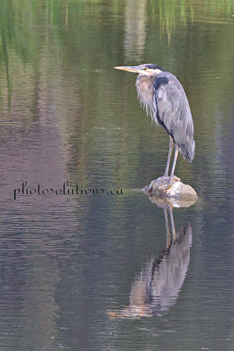 Blue Heron Riviera Pond reflection wm