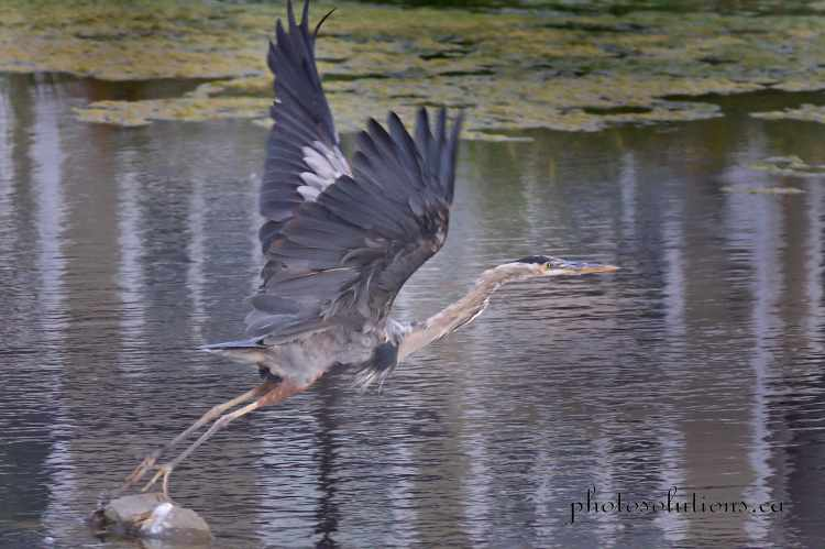 Blue Heron Riviera pond take off cropped wm
