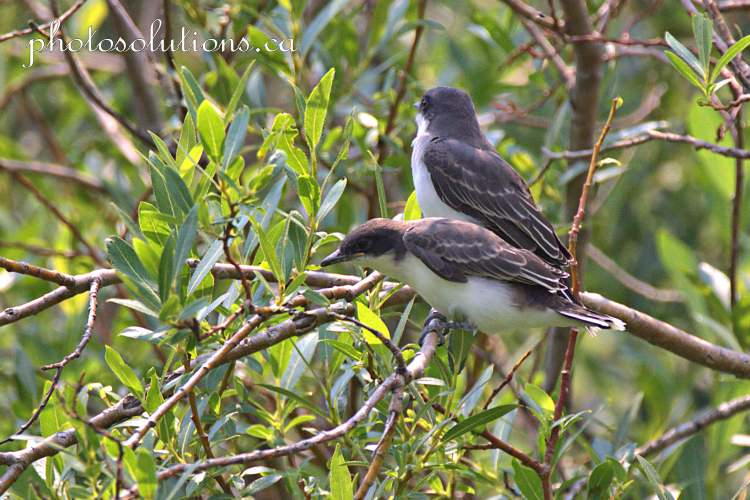 Eastern Kingbird babies left the nest cropped wm