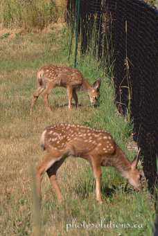 Fawn eating by the fence cropped wm