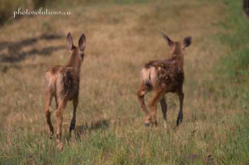 Fawns twins in backyard cropped wm