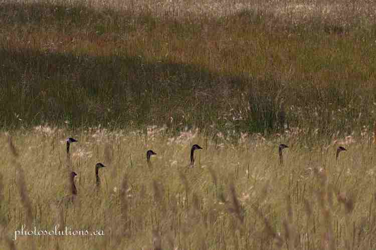 Geese backlit in grass on TR 252 cropped wm