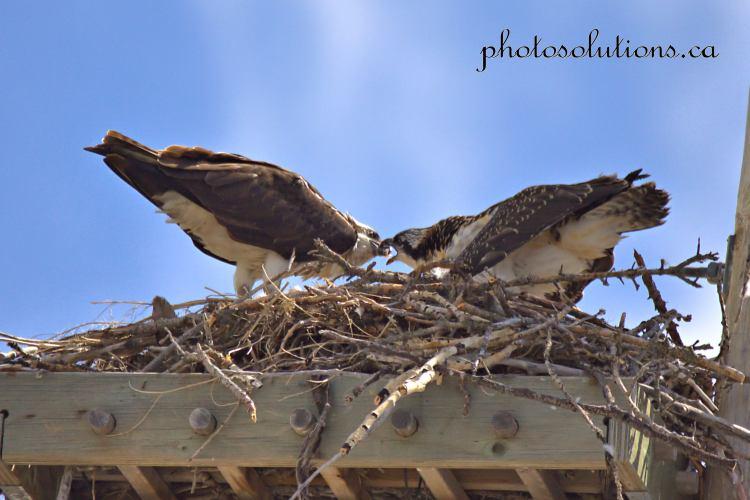 Osprey feeding young Cochrane cropped wm
