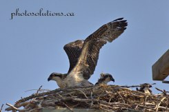 Osprey young stretching wings cropped wm