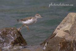 Sandpiper baby jumping rocks 1 wm