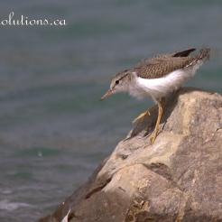 Sandpiper baby jumping rocks 2 wm