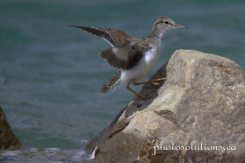 Sandpiper baby jumping rocks 3 wm