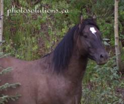 Sundre Herd Close up grey stallion wm