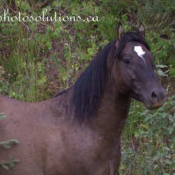 Sundre Herd Close up grey stallion wm