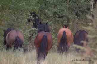 Sundre Herd running away wm