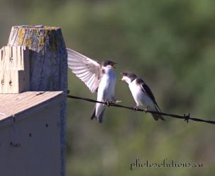 Tree Swallow box squabble cropped wm