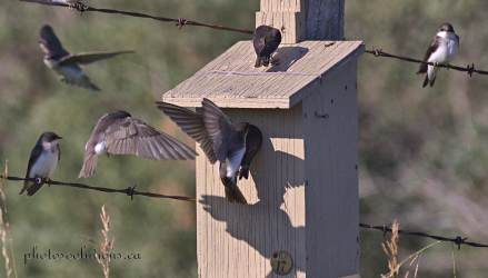 Tree Swallows at busy nest box cropped wm