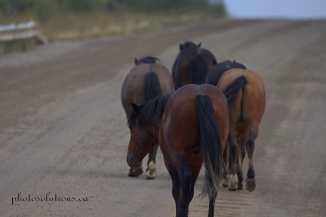 Wild horses on the road crossing bridge