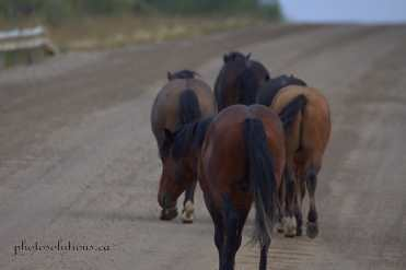 Wild horses on the road crossing bridge