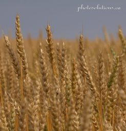 Wheat 1 cropped square wm