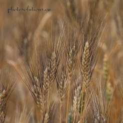 wheat blackbearded cropped square wm