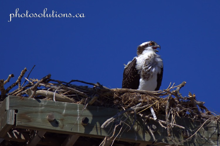 Young Osprey in nest cropped wm