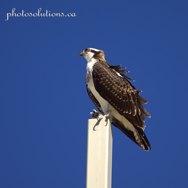 Young Osprey on Church cross clicking claws cropped square wm