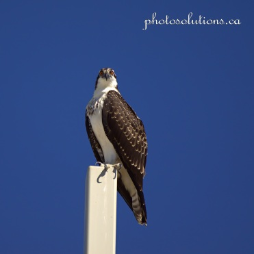 Young Osprey on Church cross head bobs 2 cropped square wm