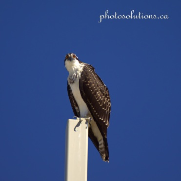 Young Osprey on Church cross head bobs cropped square wm