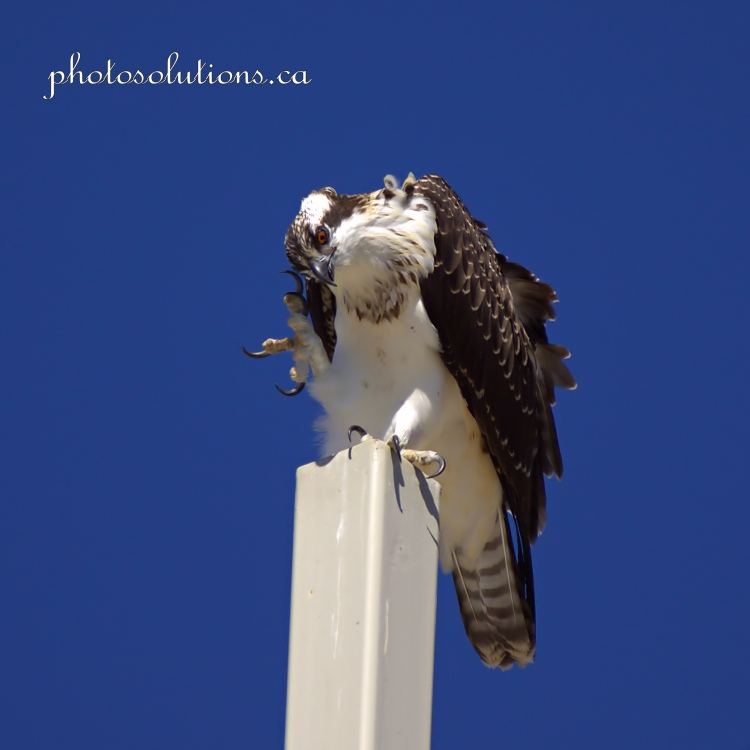 Young Osprey on Church cross scratching head cropped square wm