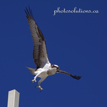 Young Osprey on Church cross take off 2 cropped square wm