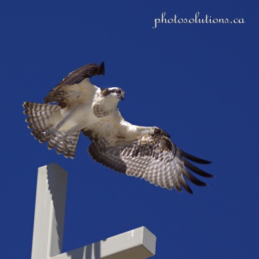 Young Osprey on Church cross take off cropped square wm