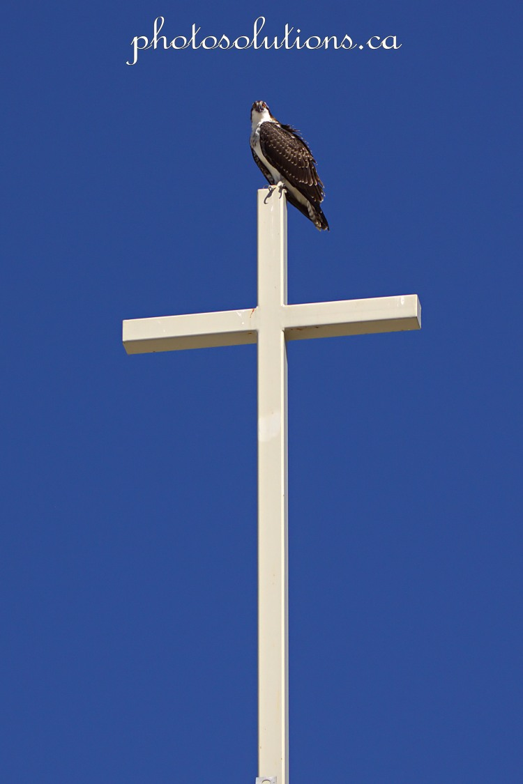 Young Osprey on Church cross wm