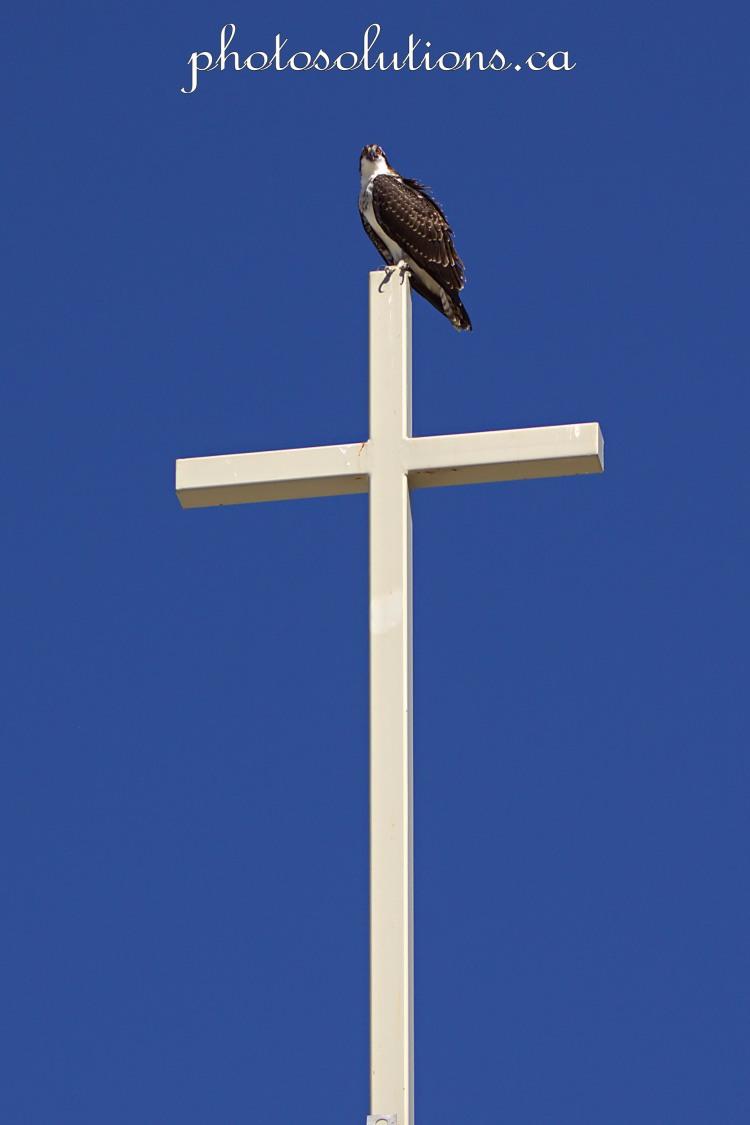 Young Osprey on Church cross wm