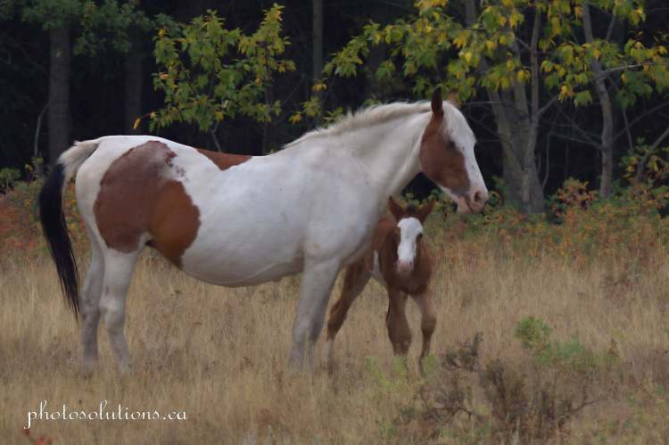 Paint and foal Morley cropped wm