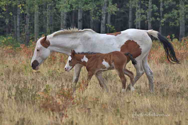Paint and foal walking away wm