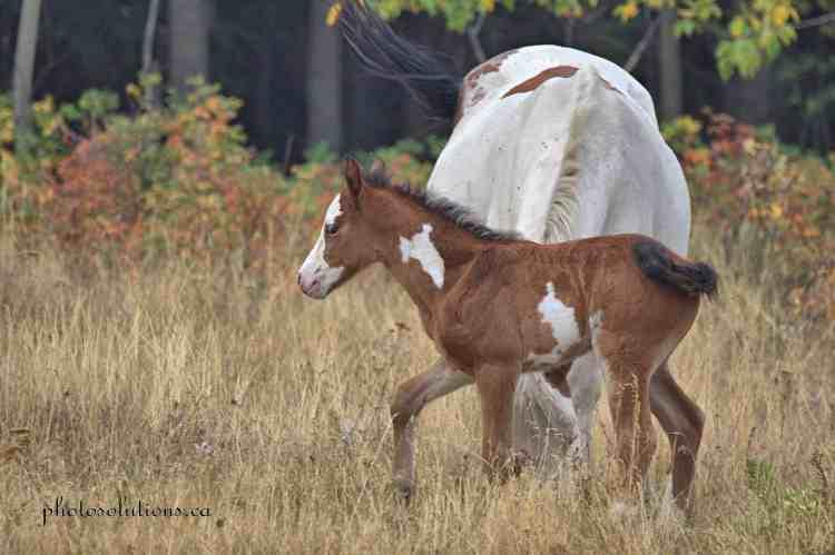 Paint foal prancing Morley wm