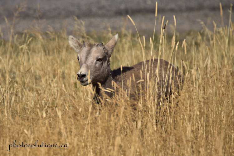 Big Horn youngster in tall grasses cropped wm