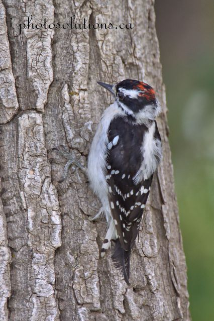 Downy Woodpecker Bow River Riviera cropped wm