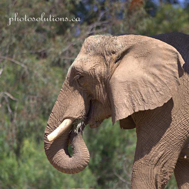 Elephant San Diego Zoo cropped wm