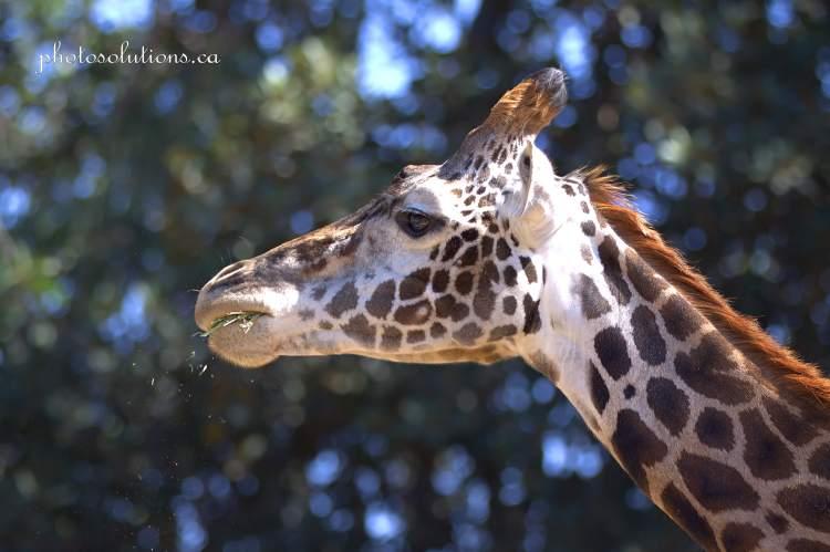 Giraffe San Diego Zoo cropped wm