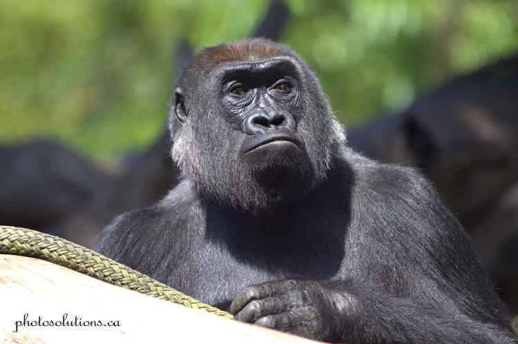 Gorilla Female San Diego Zoo wm