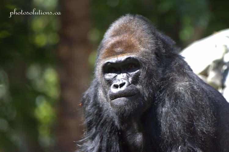 Gorilla Male San Diego Zoo cropped sm