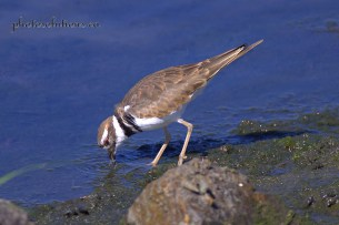Killdeer drinking rob field cropped wm
