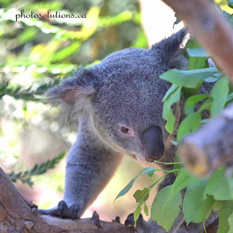 Koala 2 San Diego Zoo cropped square wm