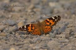 Moth Cochrane Ranche cropped wm