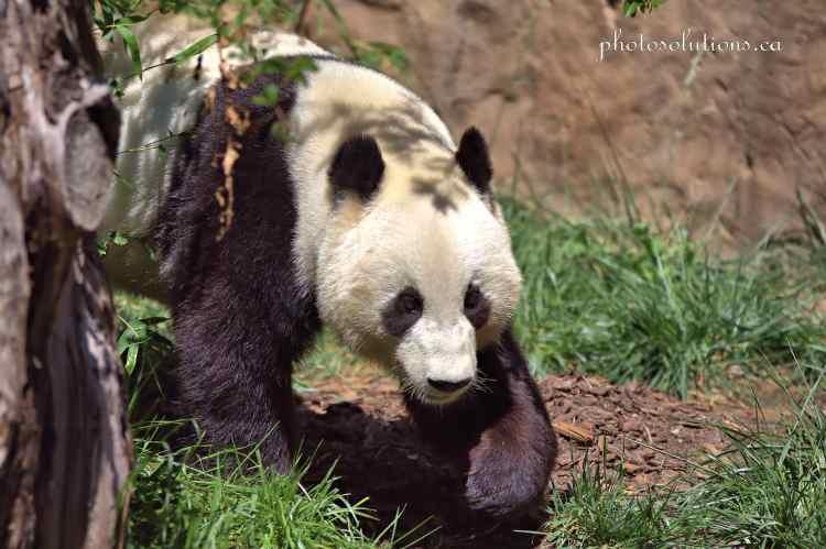 Panda San Diego Zoo cropped wm