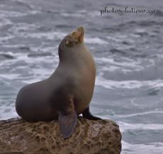 Posing sealion la jolla cropped wm