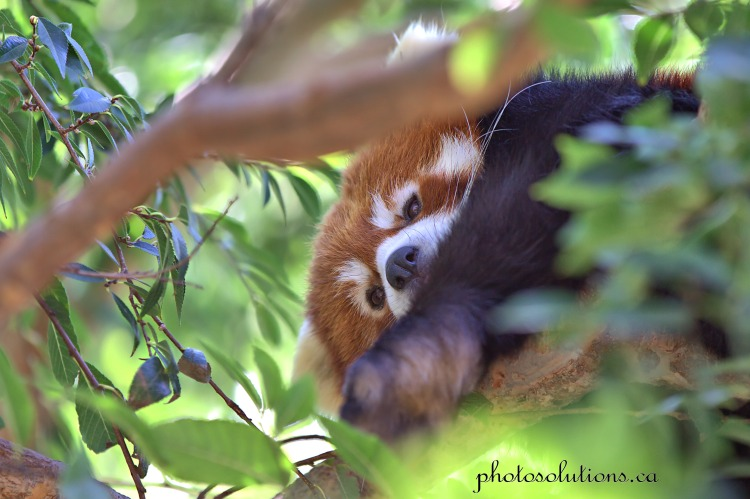 Red Panda peeking cropped wm