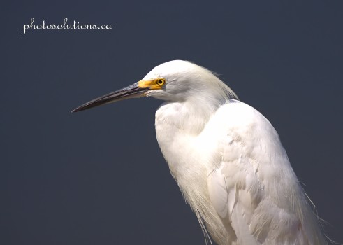 Snowy Egret cropped wm