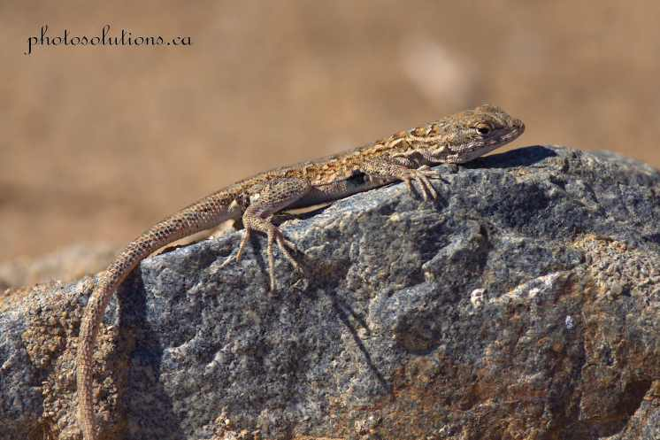 Suntanning lizard rob field wm