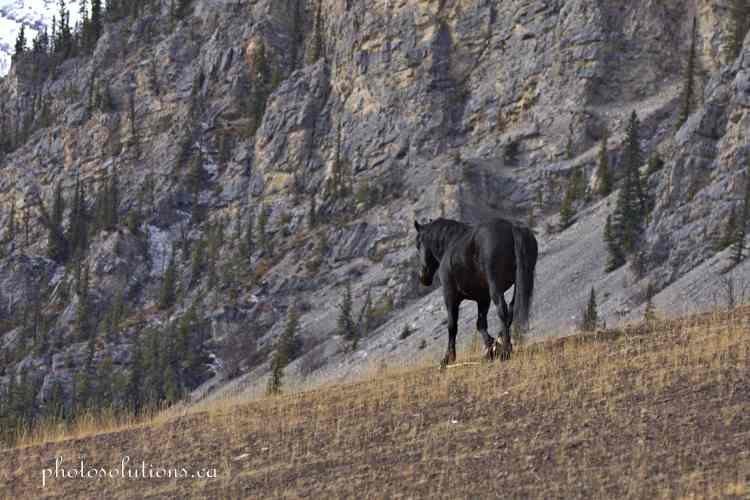 Black Stallion Bragg Creek leaving cropped wm