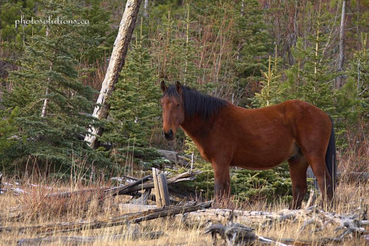 Brown Stallion Bragg Creek wm